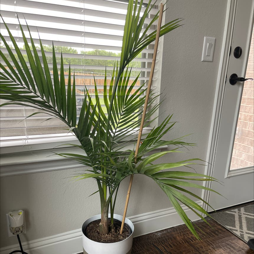 Majesty Palm plant in Princeton, Texas