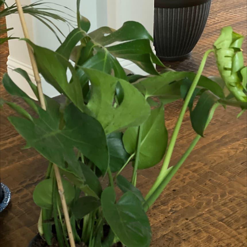Monstera plant in Princeton, Texas