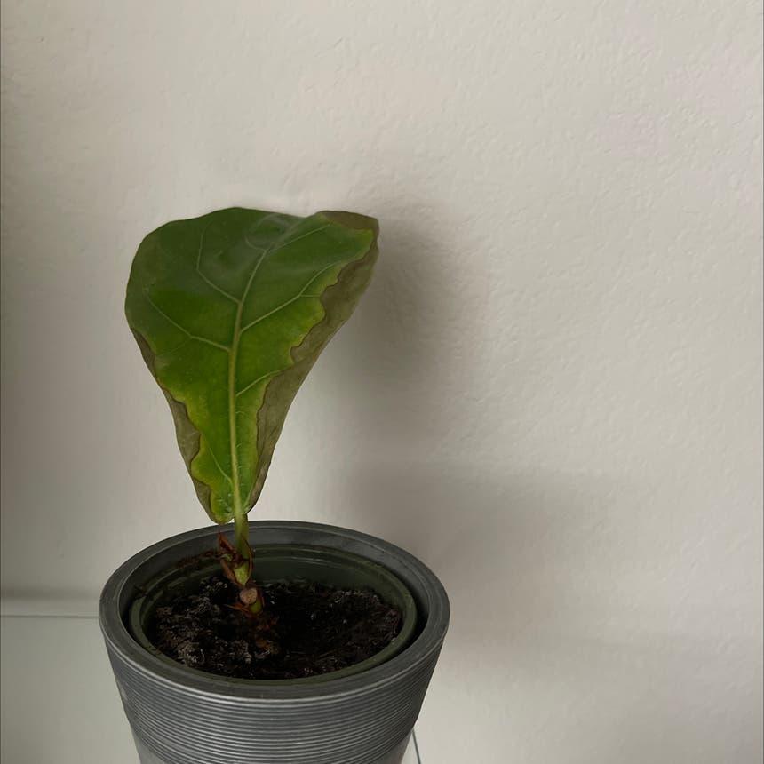 Fiddle Leaf Fig plant in Princeton, Texas