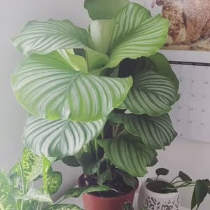 Round-leaf Calathea plant photo by Sarahsplants named Orby on Greg, the plant care app.