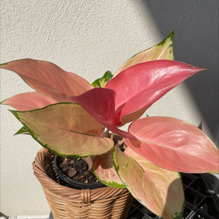 Photo of the plant species Chinese evergreen by Angeoasis named Zuko on Greg, the plant care app