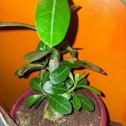 Desert Rose Plant plant