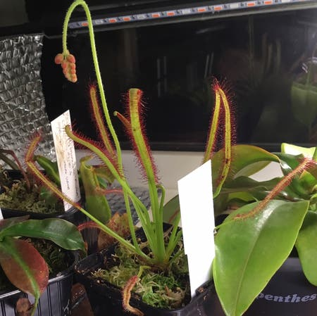 Photo of the plant species Drosera capensis 'Bot River' by Liam named Capensis on Greg, the plant care app