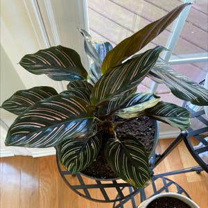 Rating of the plant Pinstripe Plant named ornata by Brennanarnold on Greg, the plant care app