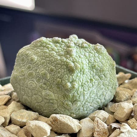Photo of the plant species Cube Pseudolithos by Calkinos named Your plant on Greg, the plant care app