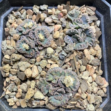 Photo of the plant species Concrete Leaf Living Stone by Josh named Titanopsis on Greg, the plant care app