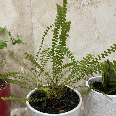 Photo of the plant species Maidenhair Spleenwort by Theqza named Sonora on Greg, the plant care app