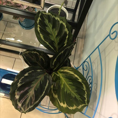 Photo of the plant species Calathea 'Medallion' by Bev1026 named Calathea on Greg, the plant care app