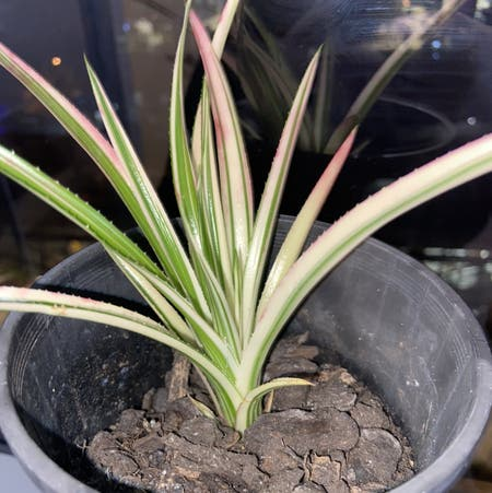 Photo of the plant species Neophytum Galactic Warrior by Karissa.hodge named Boris on Greg, the plant care app