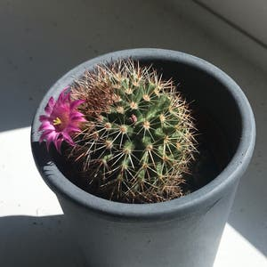 Pincushion cactus plant photo by Laurensplantbbs named Susie on Greg, the plant care app.