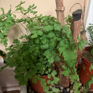 Maidenhair fern plant photo by Plantlover named Maiden hair on Greg, the plant care app.