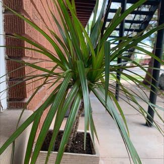 Dragon tree plant in Cedar City, Utah