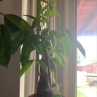 Money Tree plant in Cedar City, Utah