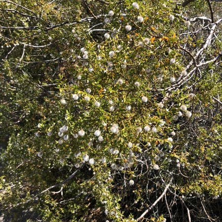 Photo of the plant species Larrea tridentata by Donny named Your plant on Greg, the plant care app