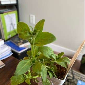 Petunia 'Surfinia White' plant in Edmonton, Alberta