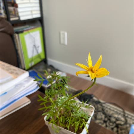 Photo of the plant species Apache Beggarticks by Taylorh021 named Athena on Greg, the plant care app
