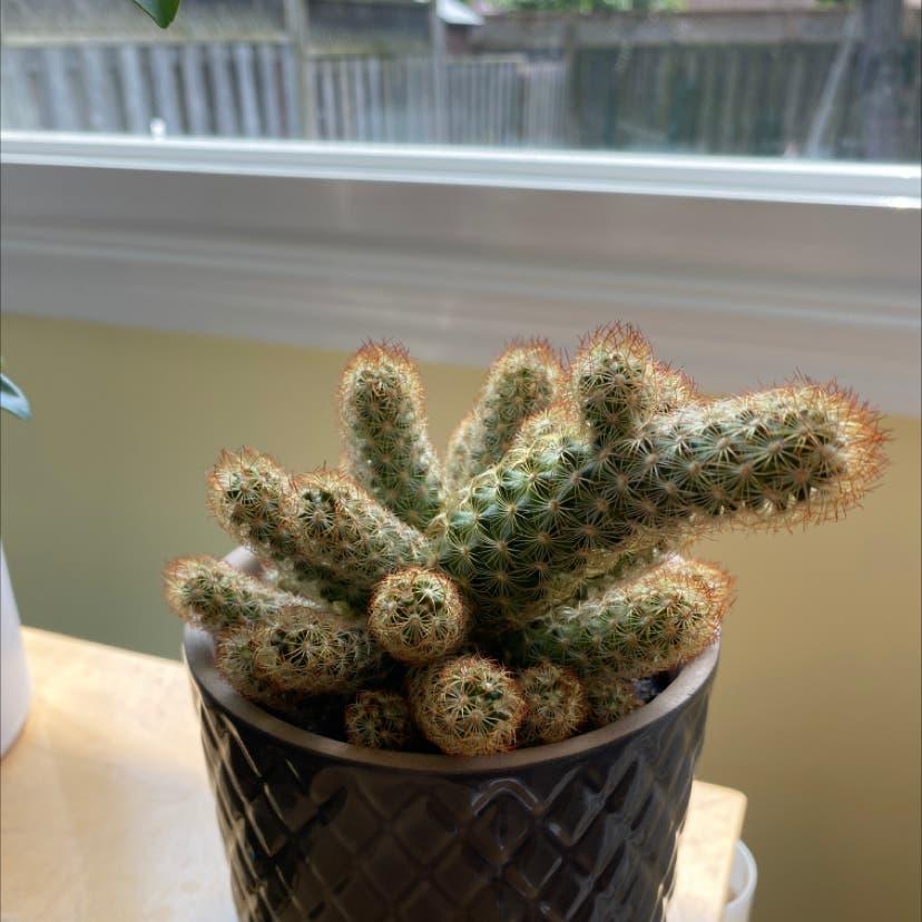 Lady Finger Cactus plant