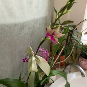 Noble Dendrobium plant photo by Vasily named Your plant on Greg, the plant care app.