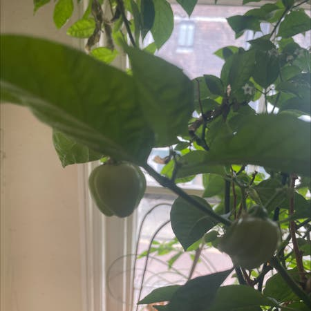 Photo of the plant species Caribbean Red Pepper by Iejpotter named Bonnie on Greg, the plant care app