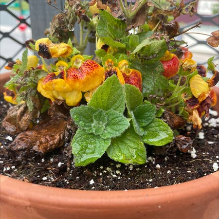 Photo of the plant species Pocketbook Plant by Phi36 named Elaine on Greg, the plant care app