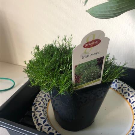 Photo of the plant species Sagina Subulata by Jessthorn named Irish Moss on Greg, the plant care app