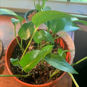 Pothos 'Jade' plant photo by Ukknight named Barry on Greg, the plant care app.