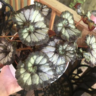 Rex Begonia plant in Nashville, Tennessee
