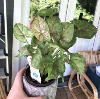 Syngonium 'Berry' plant in Nashville, Tennessee