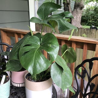 Monstera plant in Nashville, Tennessee