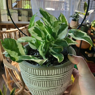 Pearls and Jade Pothos plant in Nashville, Tennessee