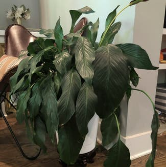 Peace Lily plant in Nashville, Tennessee