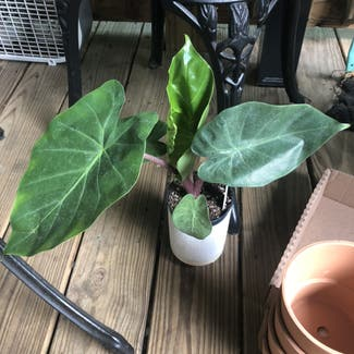 Alocasia 'Imperial Red' plant in Nashville, Tennessee