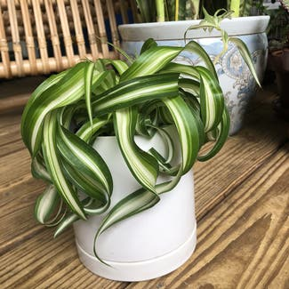 Curly Spider Plant plant in Nashville, Tennessee