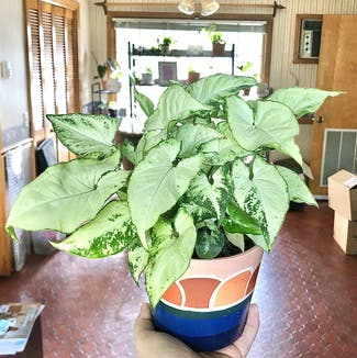 Syngonium 'Holly' plant in Nashville, Tennessee