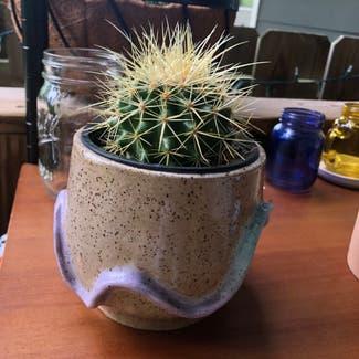 Golden Barrel Cactus plant in Nashville, Tennessee