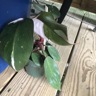 Philodendron 'Pink Princess' plant in Nashville, Tennessee
