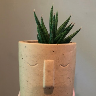 Sansevieria francisii plant in Nashville, Tennessee