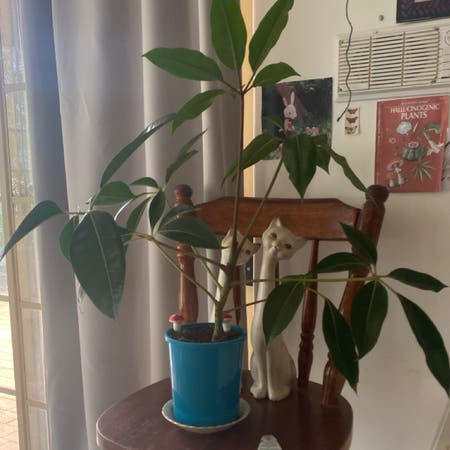 Photo of the plant species Tupidanthus Calyptratus by Sophiiwheeler named tupidanthus calyptratus (cleo patra) on Greg, the plant care app