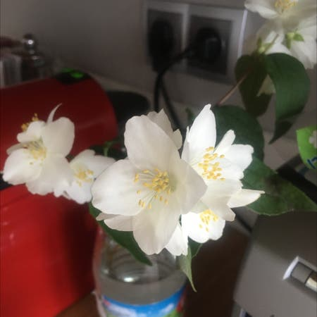 Photo of the plant species Philadelphus coronarius by Charu named Your plant on Greg, the plant care app