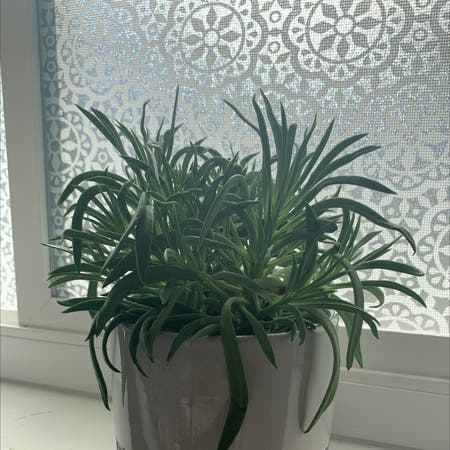 Photo of the plant species Barberton Senecio by Audralee named Diana on Greg, the plant care app