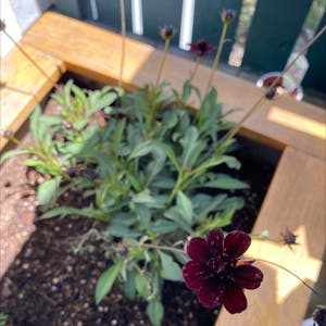 Chocolate Cosmos plant photo by Melissa named Chocolate Cosmos on Greg, the plant care app.