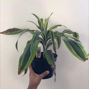 Rating of the plant Cornstalk Dracaena named Blaise by Paula on Greg, the plant care app