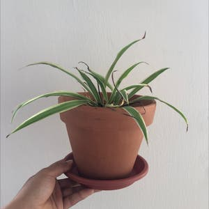 Rating of the plant Spider Plant named Penelope by Paula on Greg, the plant care app