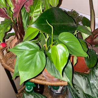 Heartleaf philodendron plant in Florham Park, New Jersey