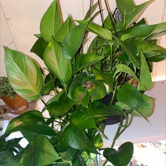 Pothos 'Jade' plant in Florham Park, New Jersey