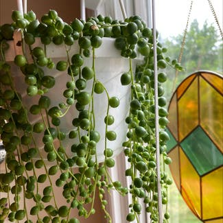 String of Pearls plant in Florham Park, New Jersey