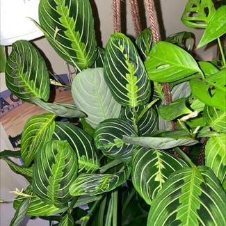Green Prayer Plant plant in Florham Park, New Jersey