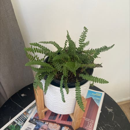 Photo of the plant species Pinque by Ashley named Fern on Greg, the plant care app