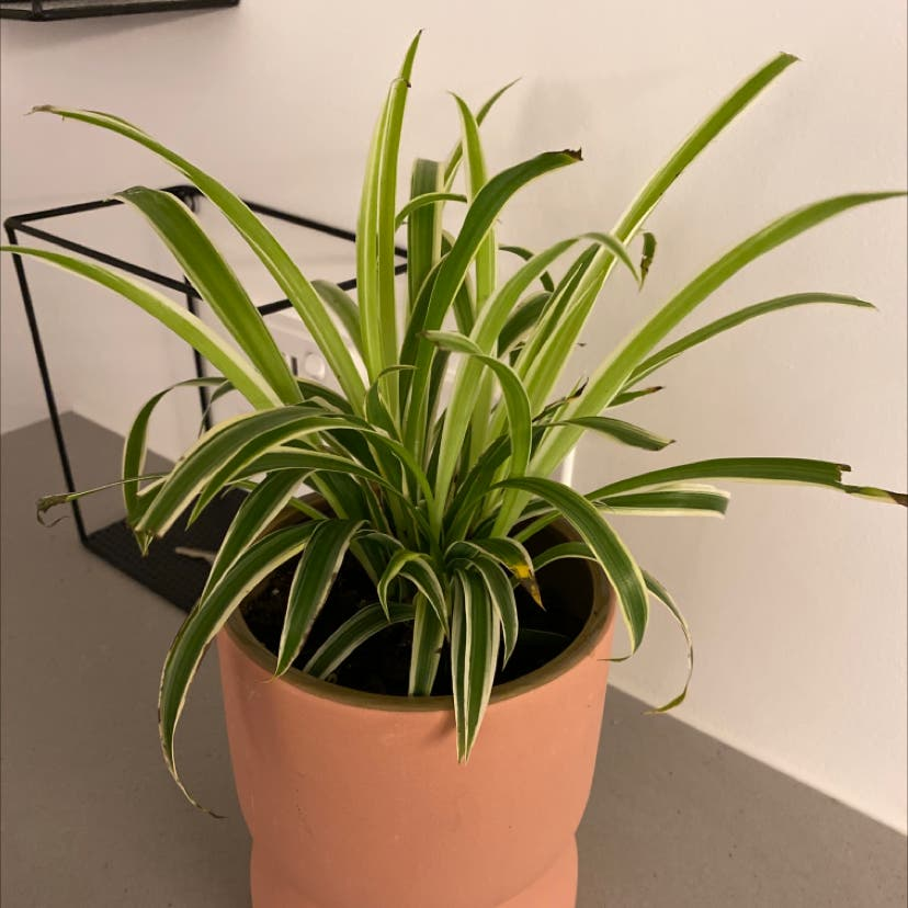 Spider Plant plant in Burwood East, Victoria