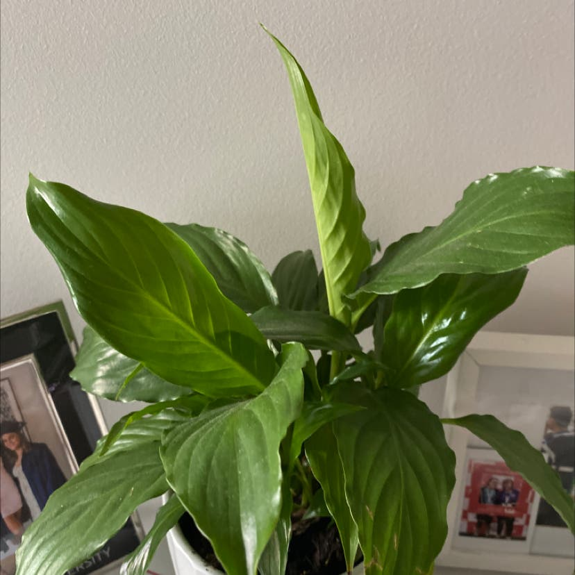 Peace Lily plant in Burwood East, Victoria